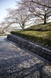 トヨタ博物館の桜