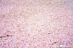 桜の花びらコラージュ