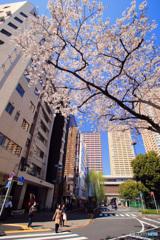 日暮里駅の桜