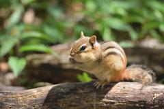 森に住む動物 シマリス