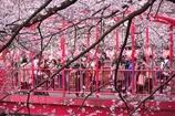 それぞれの桜写真