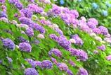 紫陽花の咲く公園(2)