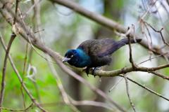 森に住む動物 頭の青い鳥
