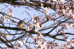 桜花に誘われてⅡ