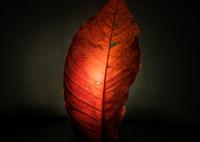 SONY ILCE-7で撮影した(新鮮な落葉<2>)の写真(画像)