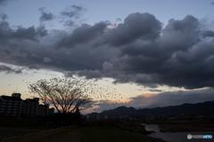 雲とムクドリ