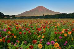 夏富士と百日草