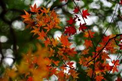 紅葉と煌めき
