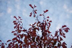 秋も色づく桜