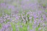 淡色の草原