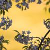 「ヒマラヤ桜の艶姿」