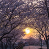 「夕映え・桜」