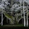 「深淵の薄墨桜#2」