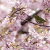「春の囀り」