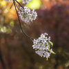 「ヒマラヤ桜」
