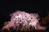 六義園 しだれ桜②