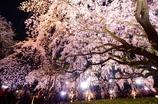 六義園 しだれ桜①