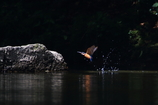 渓流のカワセミファミリー5