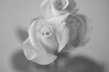 rose  モノクロ