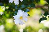 白い花の夢