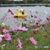 常盤公園に咲くコスモス