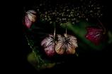 秋の紫陽花5