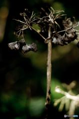 秋の紫陽花4