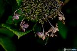 秋の紫陽花2