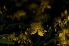 night hypericum