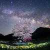 山桜 咲く。