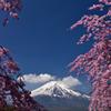 花の都の桜