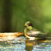 幼鳥の水浴