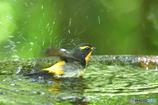 野鳥水浴~キビタキ~