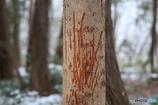 鹿の角こすり痕