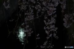 釜川の春 2