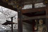 春 -仁和寺にて-