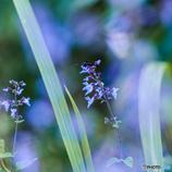 平尾台 秋の草花(4)