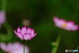 秋桜(4)