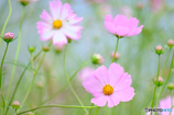 秋桜(1)