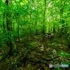 新緑の森(4)