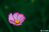 秋桜(5)