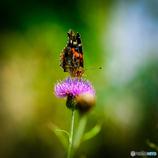平尾台の蝶(2)