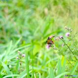 平尾台の蝶(1)