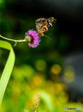 平尾台の蝶(3)
