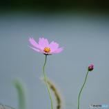 秋桜(3)