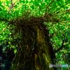 緑葉の日傘