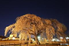 法亀寺の枝垂桜