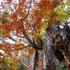 古木を彩る