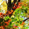 チブリ尾根の紅葉⑨