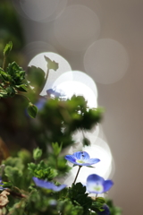 愛ラブ雑草 オオイヌノフグリ